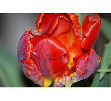 Tulip For You! Photographic Print