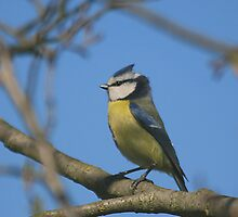 It's all gone tits up! A blue tit (Cyanistes caeruleus) by miradorpictures