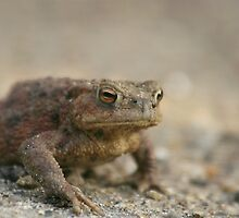 Common Toad (Bufo bufo) by miradorpictures
