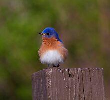 Eastern Bluebird by John Absher