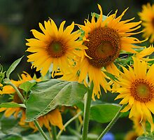 Sunflowers to brighten your day by Sea-Change