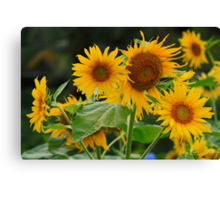 Sunflowers to brighten your day Canvas Print