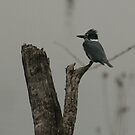 Belted Kingfisher by ffuller