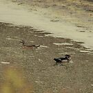 Wood ducks by ffuller