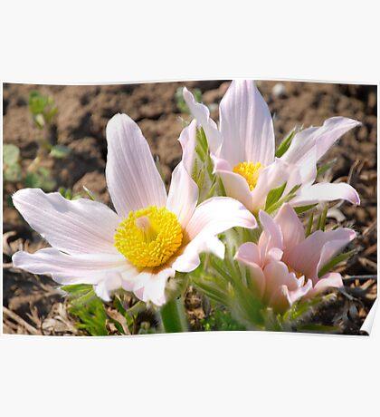 Anemone - Pasque Flower  III  Poster