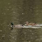Mallard Ducks by ffuller