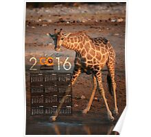 Giraffe After Drinking Poster Calendar Poster