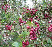 Hawthorn Berries by Fara