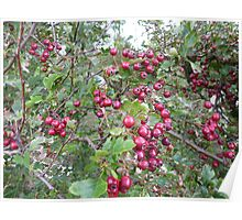 Hawthorn Berries Poster