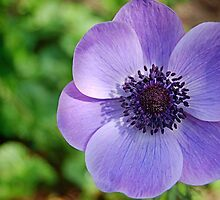 Anemone by Gillian Cross