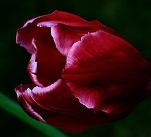 The Tulip ! by Elfriede Fulda