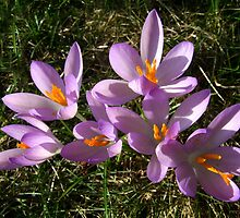 Backyard Crocus by Stephen D. Miller