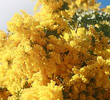 Wattle Tree by juliacarroll