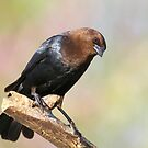 Brown Headed Cowbird by Gregg Williams
