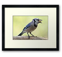 A Satisfied Blue Jay Framed Print