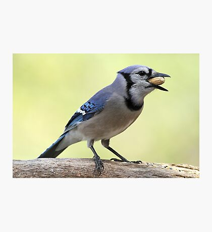 A Satisfied Blue Jay Photographic Print