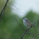 White Crowned Sparrow by ffuller