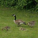 Canada Geese by ffuller