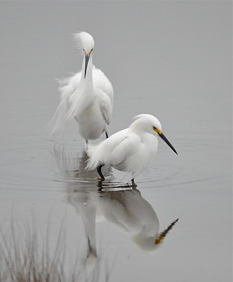 Snowy Egret Flirting  by Monte Morton
