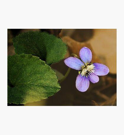 Wild Violet Photographic Print