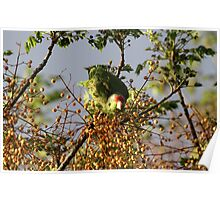 Wild Parrot Eating Berries Poster