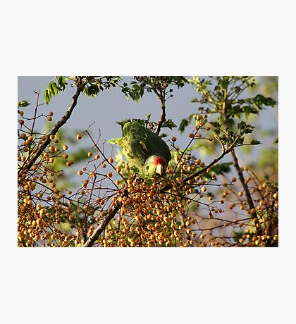 Wild Parrot Eating Berries Photographic Print