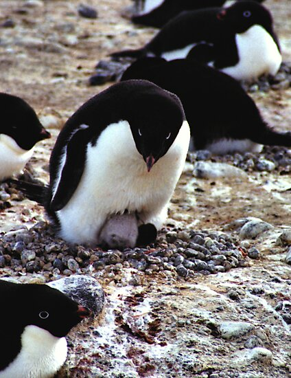 Aelelie Penguins in the Rookery by Carole-Anne