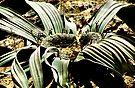 Welwitschia Plant by Carole-Anne