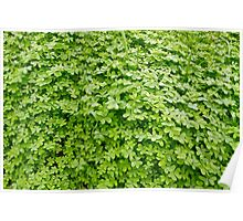 Fresh green clover. Poster