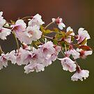 Spring blossom by Jacqueline van Zetten