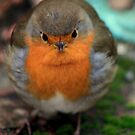 Robin by Duncan  Wilson