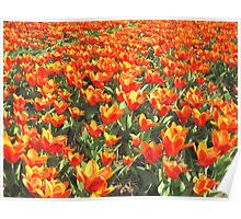 Orange Tulips from Holland Poster