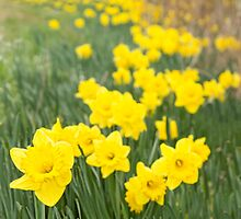 A Host of Golden Daffodils by Marilyn Cornwell