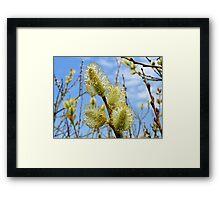 Catkins in spring Framed Print