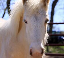 Peaches, the new palamino gypsy vanner foal at Magic Gypsy Ranch by Linda Woods