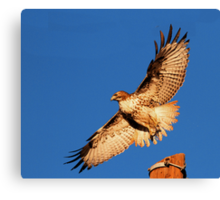 011811 Red Tailed Hawk Canvas Print