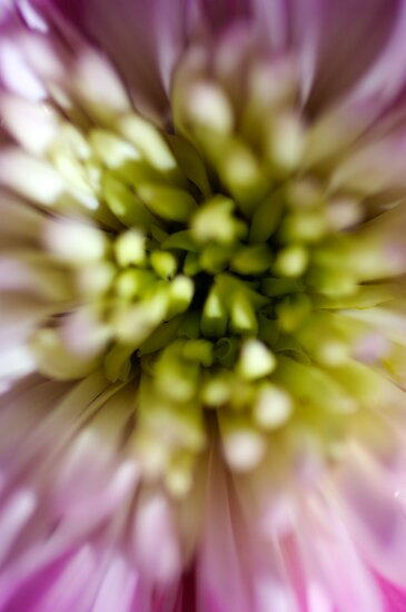 Chrysanthemum by SunDwn