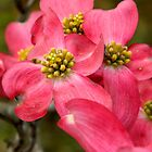 Pink Dogwood ^ by ctheworld