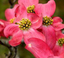 Pink Dogwood ^ by ctheworld