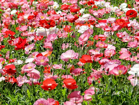 Pink and Red poppy field by Shiva77