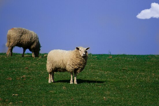 Sheep! by cavan michaelides