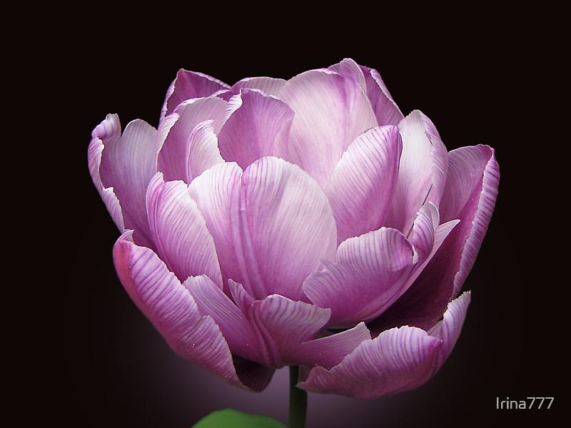 """Tulip """"Blue Diamond"""" by Irina777"""