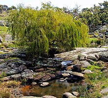 Weeping Willow Tree at Pyalong by Pauline Tims
