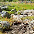 Rocks Indian Paintbrush and Bluebonnets  by Robert Armendariz
