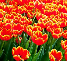 Flames of tulips by Janette Anderson