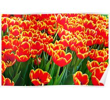 Flames of tulips Poster