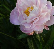 Pink Peony with Greens by Rod J Wood