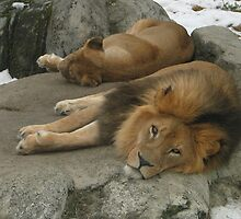 Zoo Lions by Rod J Wood