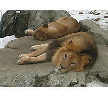 Zoo Lions Photographic Print
