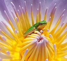 Frog on lily by robmac